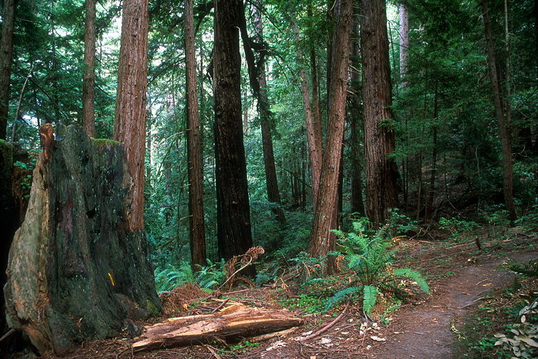 Butano State Park Redwoods